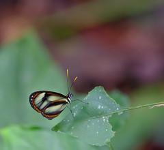 Butterflies & Moths of Andean Ecuador 2