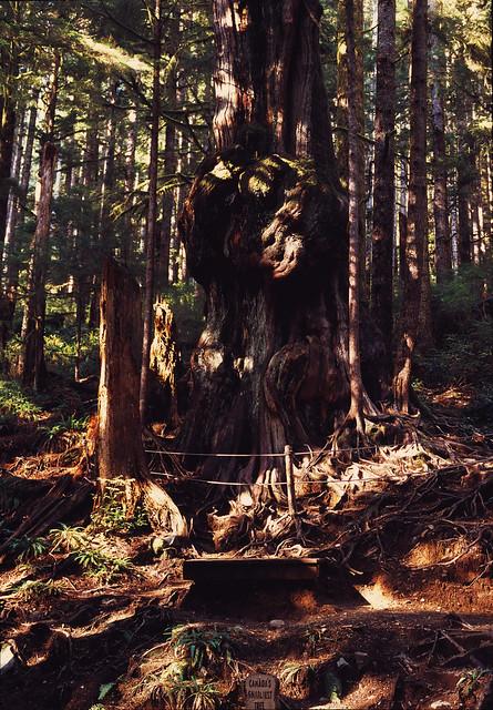 The Gnarliest Tree Imacon