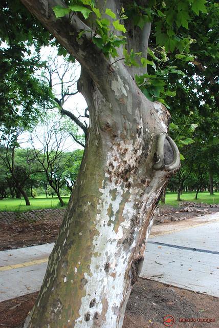 Árvores no Parque Marinha do Brasil. * Trees in the Brazilian Navy Park. * Arbres dans le Parc Marin du Brésil. * Árboles en el Parque de la Marina de Brasil. *  マリーニャドブラジル公園の木々。 * 巴西海军公园 的树木。