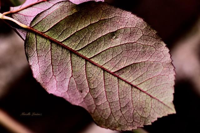 Back side of a rosebush leaf