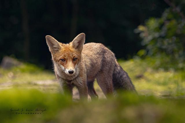 Curious fox - in EXPLORE