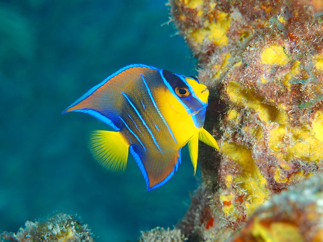 Queen Angelfish Intermediate phase - Holacanthus ciliaris