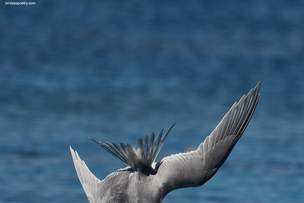 Greater Crested Tern: Roll over Dive #02.1  The Plunge