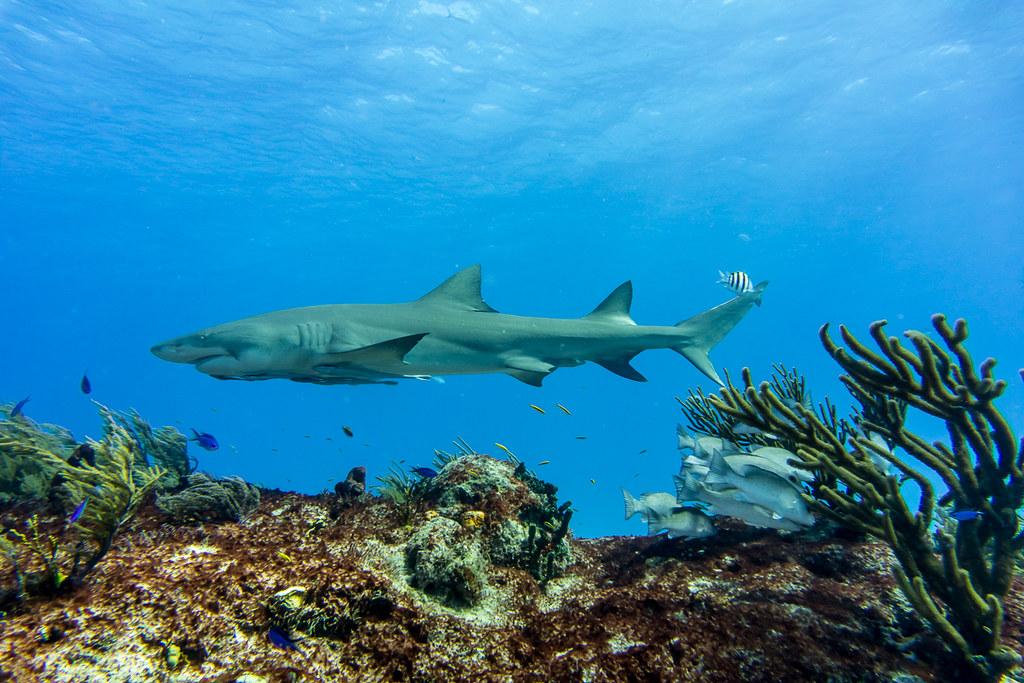 Lemon Shark above the reef