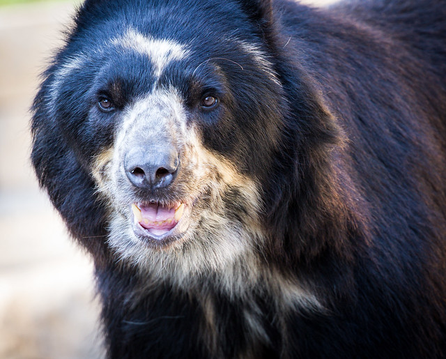 Spectacled Bear (in Explore)