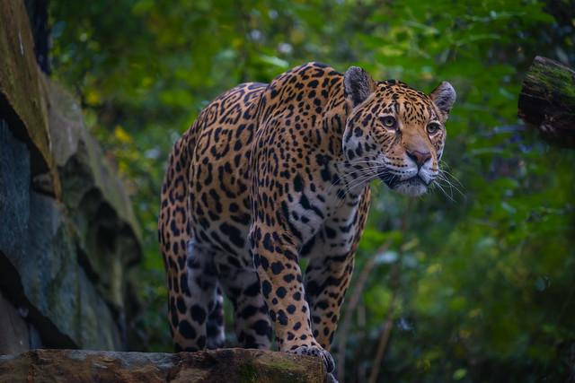 Leopard ( Panthera pardus)-3