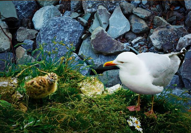 Mama Gull and Baby Gull