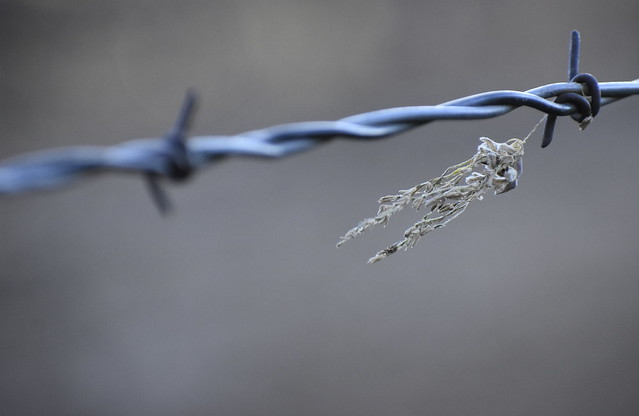 Catkin on Barbed Wire
