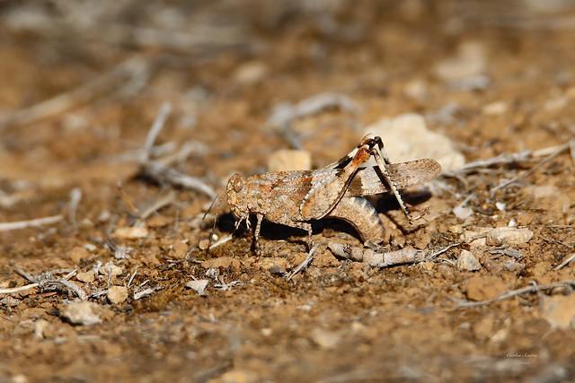 Gafanhoto Fêmea (Omocestus viridulus)