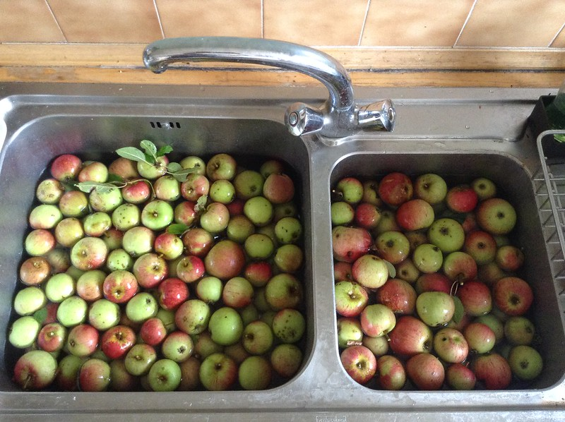 Apples from the fallen tree