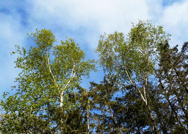 Sorrento Forest #10