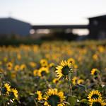 20210919 Enokimae Sunflower Field 1