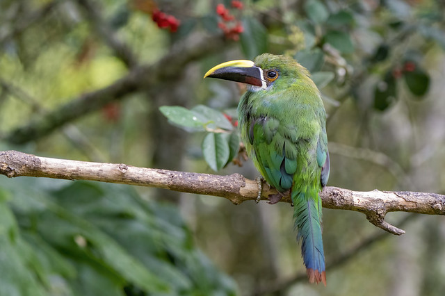 The Andean toucanet