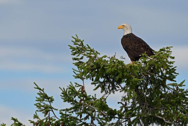 A Regal Bald Eagle Observing the Valley - 7307b+
