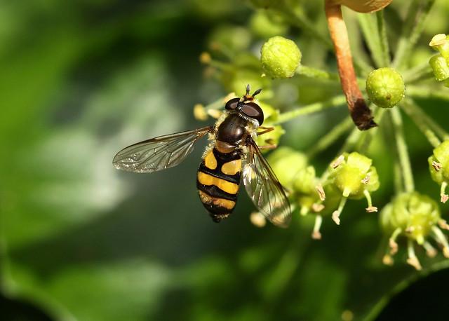 Hoverfly --- Didea fasciata ( female )
