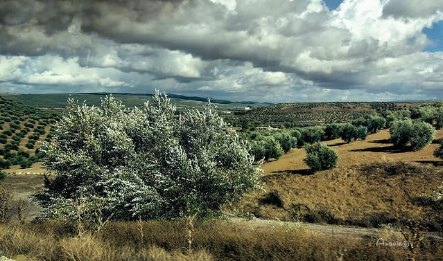 15_Olivares