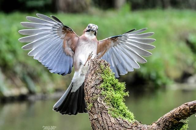 Geai des chênes (Garrulus glandarius) Eurasian Jay