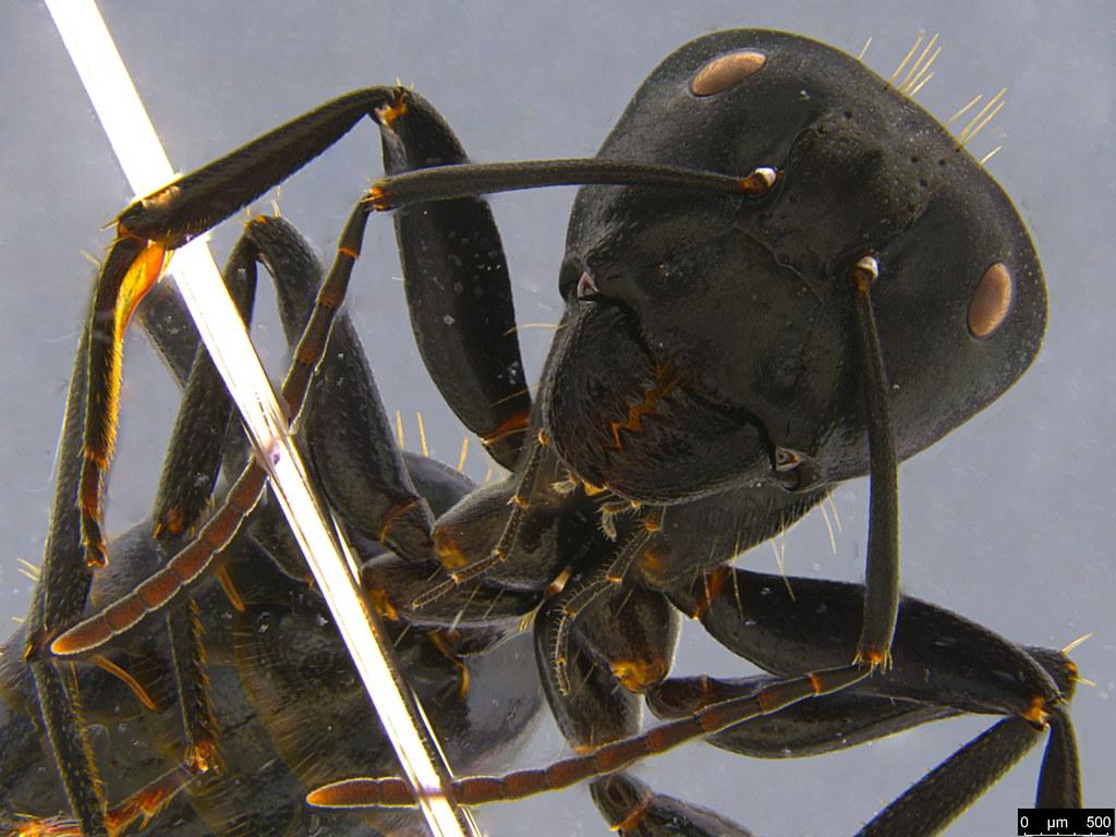 14b - Camponotus suffusus (Smith, 1858)