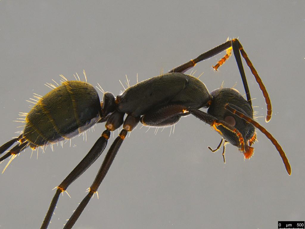 15c - Camponotus suffusus (Smith, 1858)