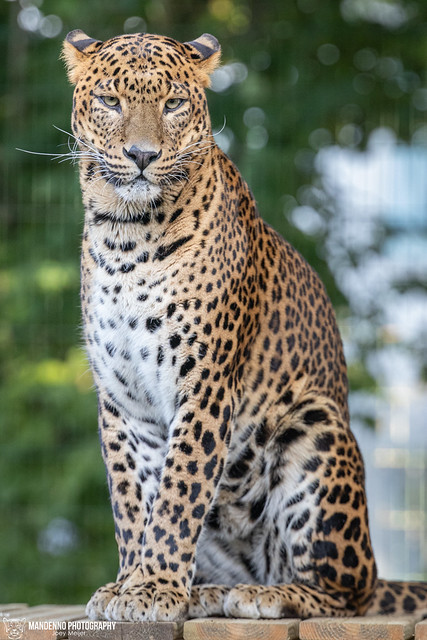 Sri Lanka Leopard - Zoo Maubeuge - France