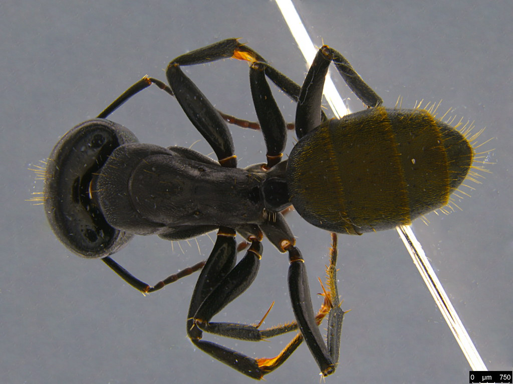 14a - Camponotus suffusus (Smith, 1858)