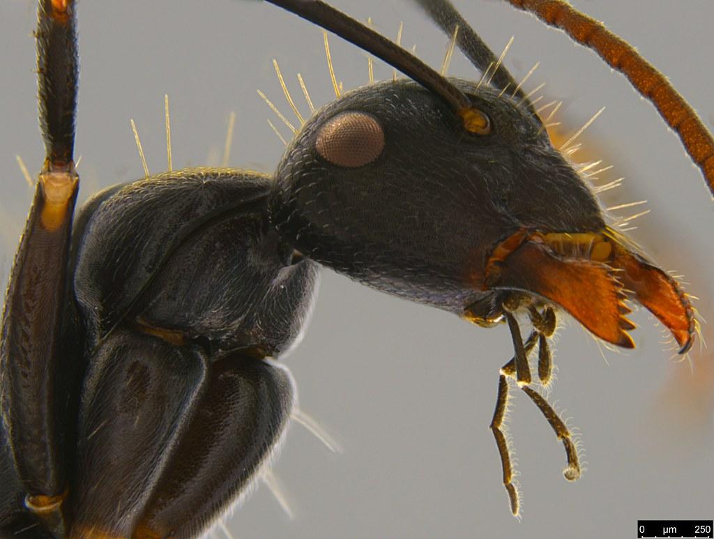 15d - Camponotus suffusus (Smith, 1858)