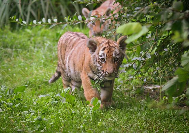die kleinen Minitiger von Duisburg/the little tigers of Duisburg