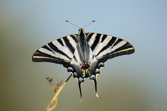 Borboleta Zebra (Iphiclides feisthamelii)