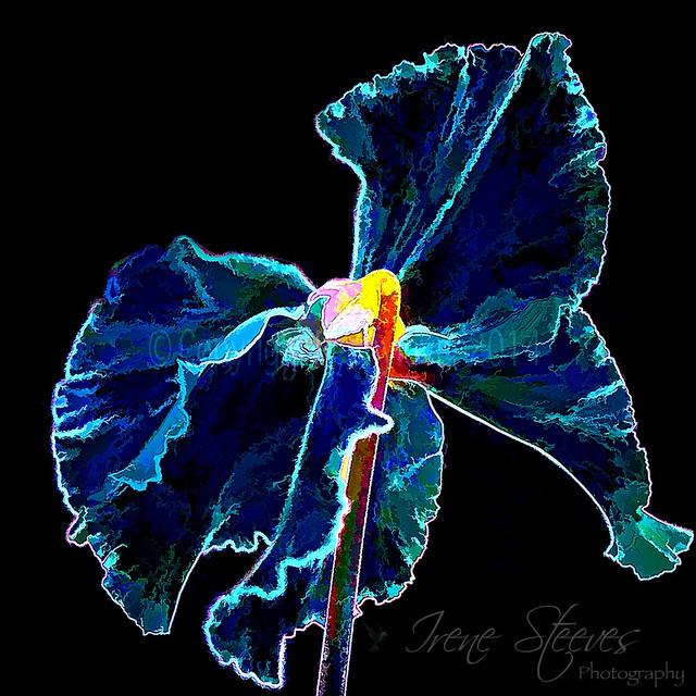 Midnight Beauty Cyclamen