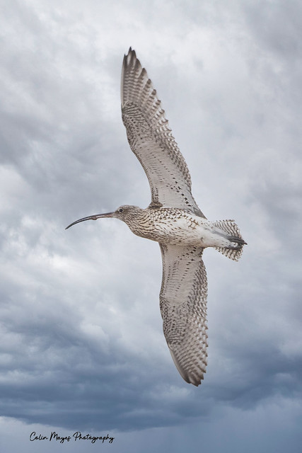 curlew (2)