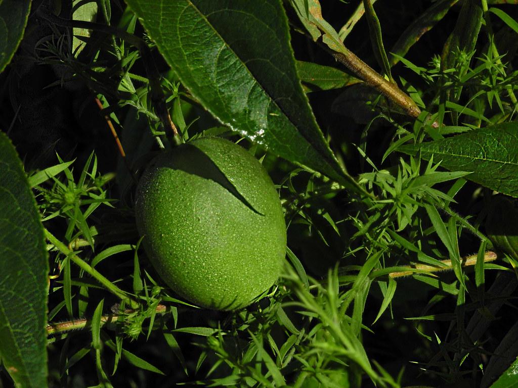 Passifloraceae : Passiflora incarnata - Purple Passionflower fruit