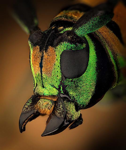 Anatragus pulchellus
