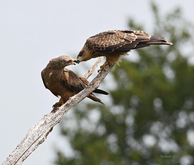 Milan noir - Milvus migrans - Black Kite (5)