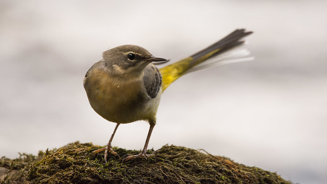 Grey Wagtail Close-up on the River Ure