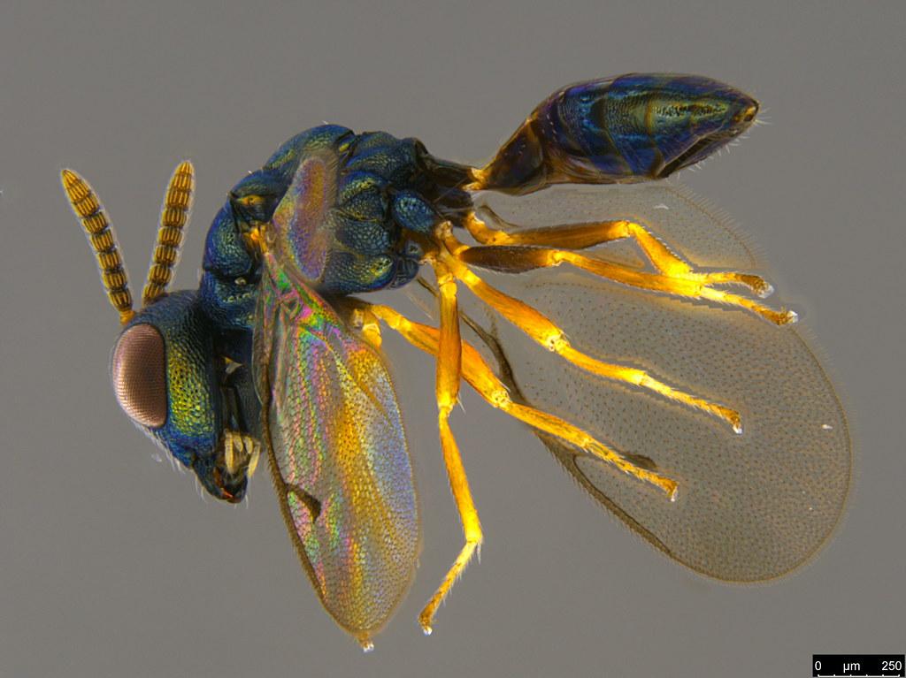 10b - Pteromalidae sp.