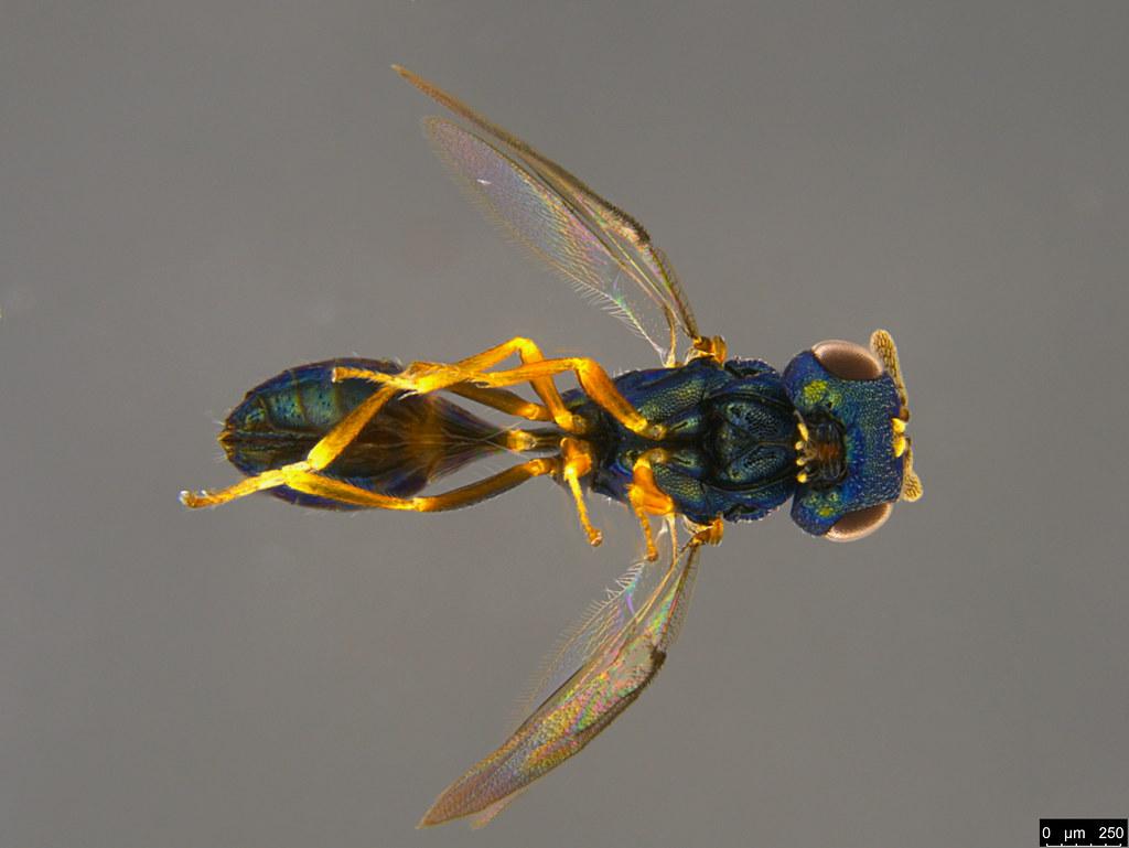 10c - Pteromalidae sp.