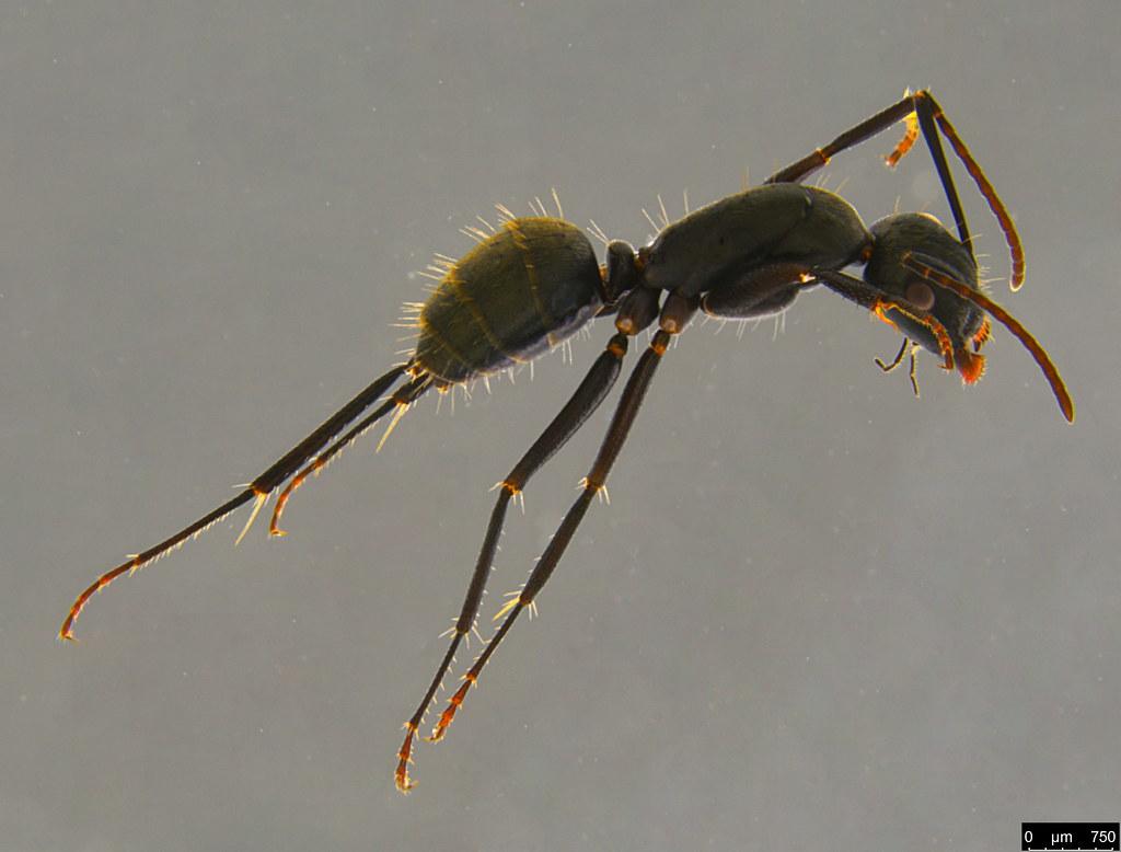 15a - Camponotus suffusus (Smith, 1858)