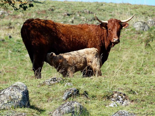 Une vie à deux, complicité sur le Cézallier Cantalien - Cantal - Auvergne - France - Europe
