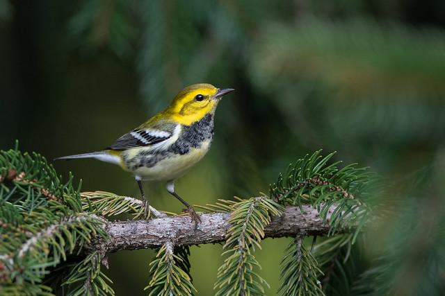 Black-throated Green Warbler - Ohio