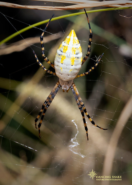 _O6A5903 Black and Yellow Garden Spider ©Dancing Snake Nature Photography