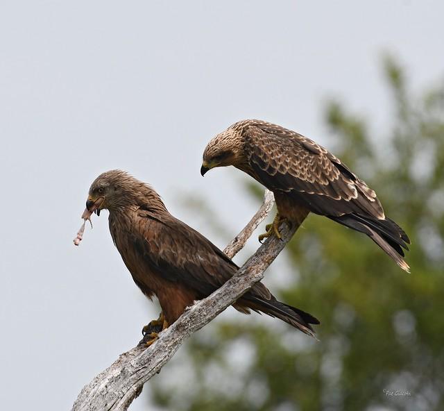 Milan noir - Milvus migrans - Black Kite (4)