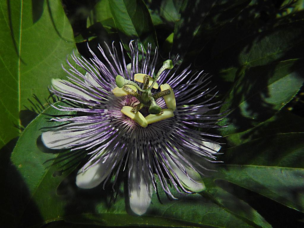 Passifloraceae : Passiflora incarnata - Purple Passionflower flower
