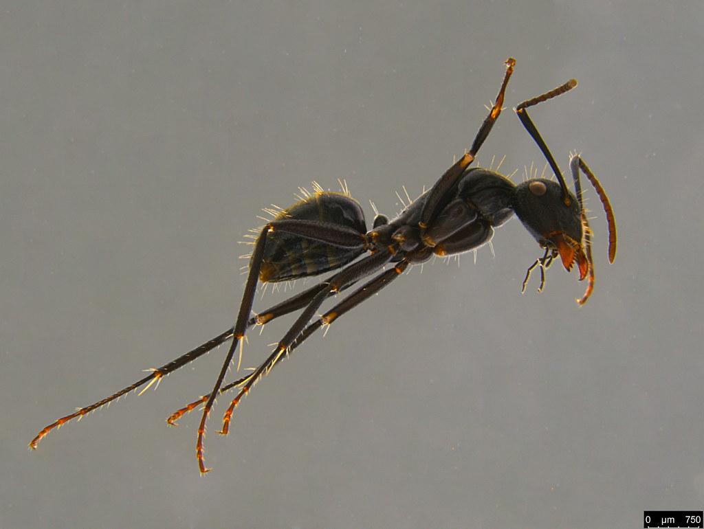15b - Camponotus suffusus (Smith, 1858)