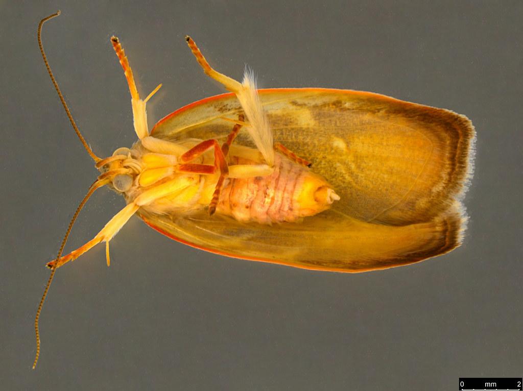 16b - Euchaetis rhizobola Meyrick, 1888