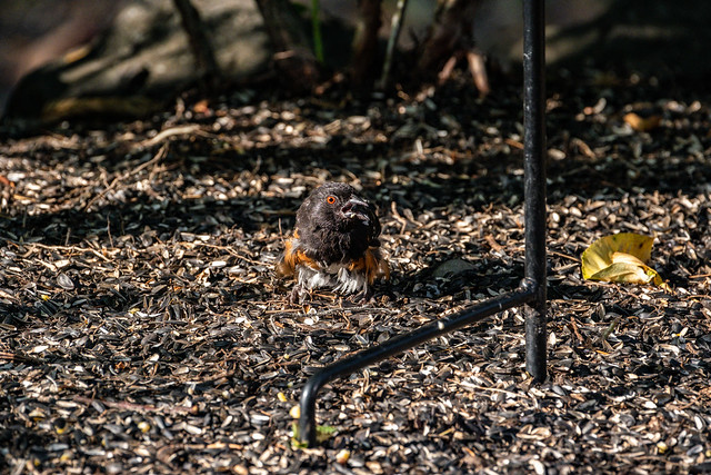 Spotted Towhee 2021 08 17 05
