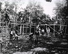 Ward huts under construction by native labor for the 1st Field Hospital, Horanda, New Guinea