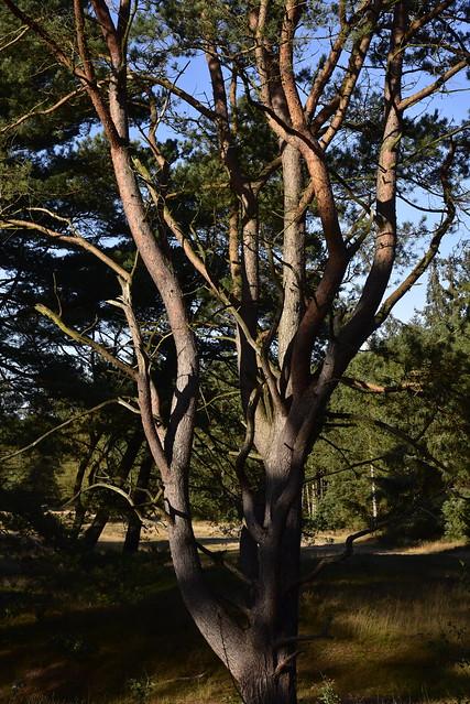 Im Loher Gehege - auf Pilzsuche im Nadelwald; Lohe-Föhrden (68)