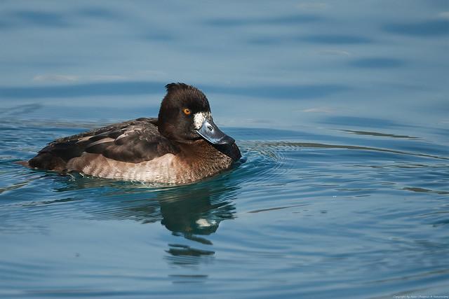 Fuligule morillon (Aythya fuligula) - Tufted Duck