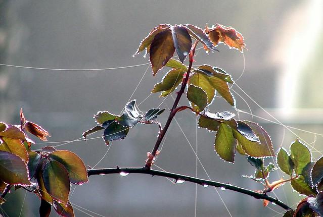 Rosenblätter mit Spinweben