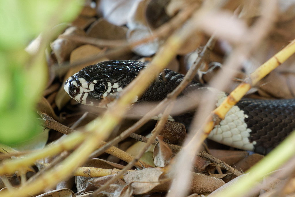 A close-up of a common kingsnake (California kingsnake) under the bushes near our front door in Scottsdale, Arizona on September 20, 2021. Originals: _RAC9574.arw and _RAC9585.arw